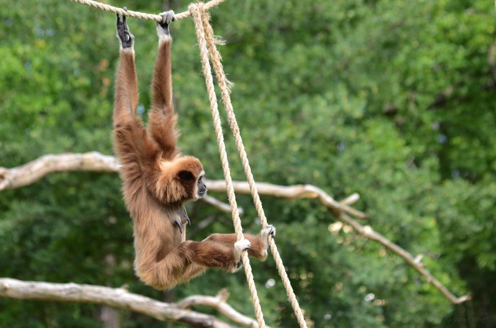 photoblog image Vithandad Lar - Lar gibbon (Hylobates lar) 10