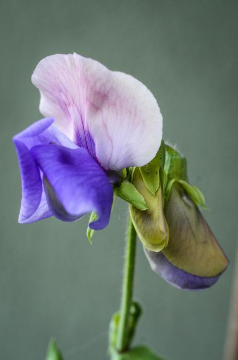photoblog image Luktärt - Sweet pea 'Erewhon' (Lathyrus odoratus)