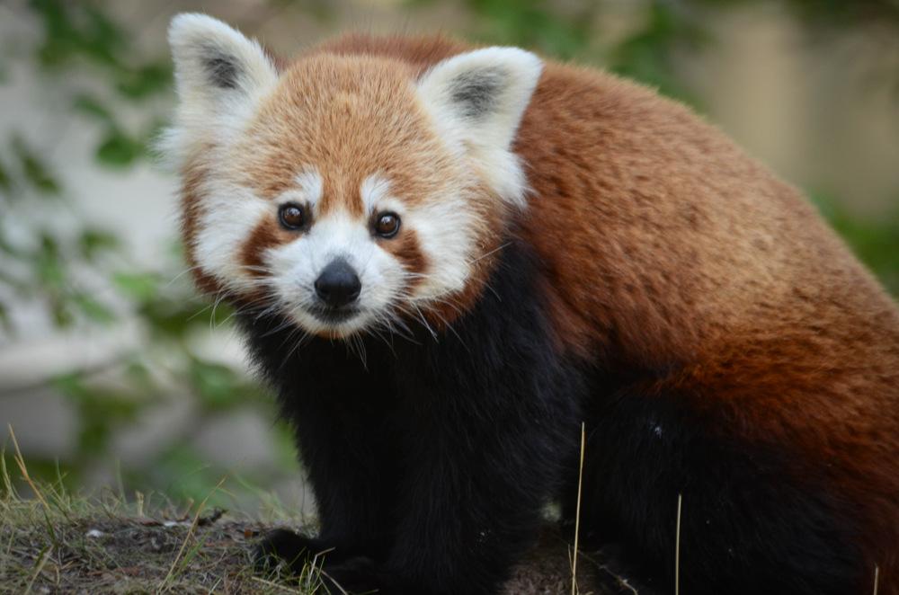 photoblog image Röd panda - Red panda (Ailurus fulgens)