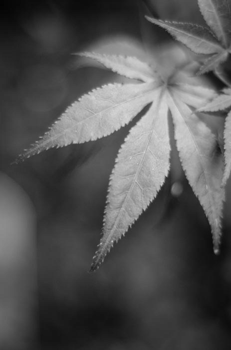 photoblog image Japansk lönn - Japanese maple (Acer palmatum)