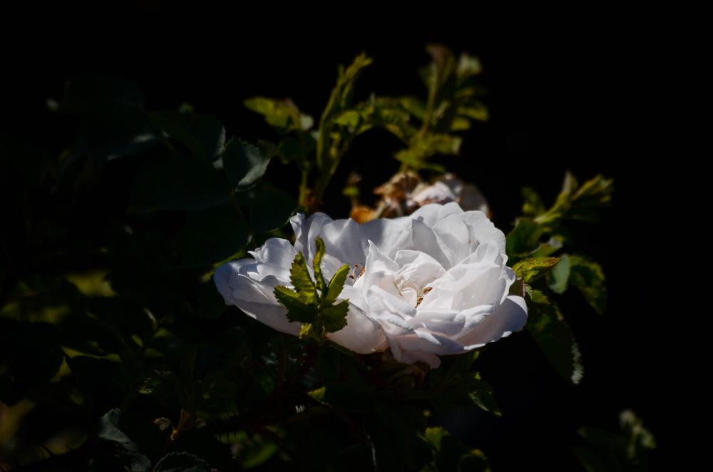 photoblog image Ros - Rose 'Stanwell perpetual' (Rosa)