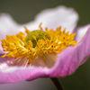 Höstanemon - Japanese anemone (Anemone x hybrida)