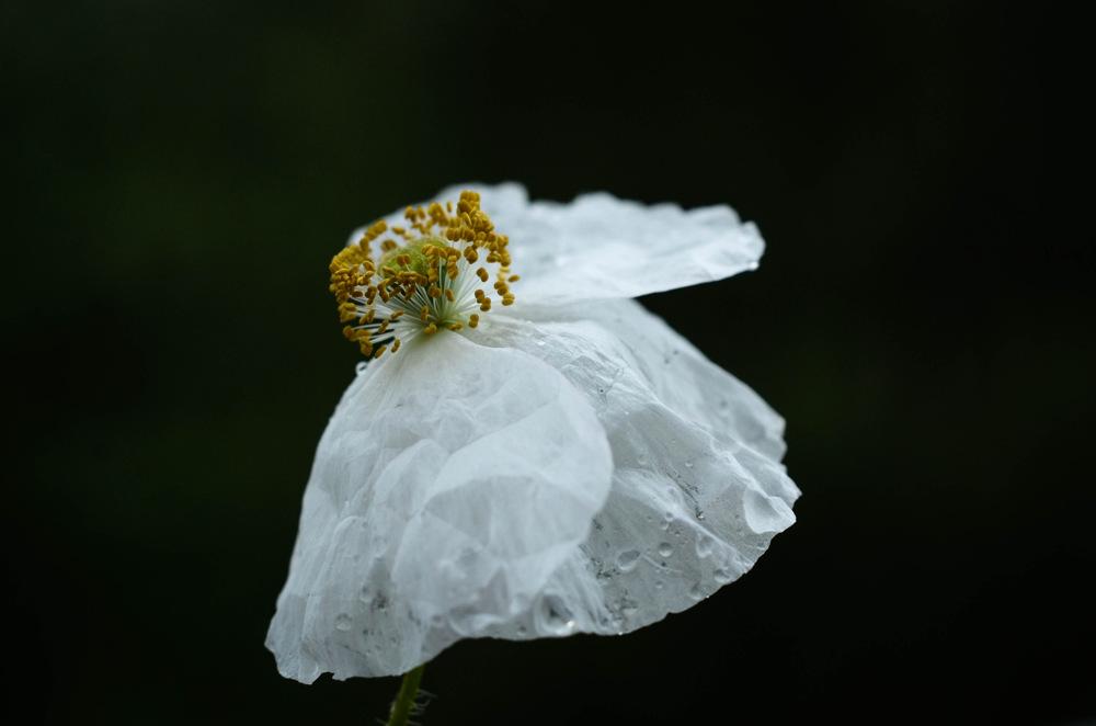 photoblog image Papaver rhoeas 'Bridal silk'