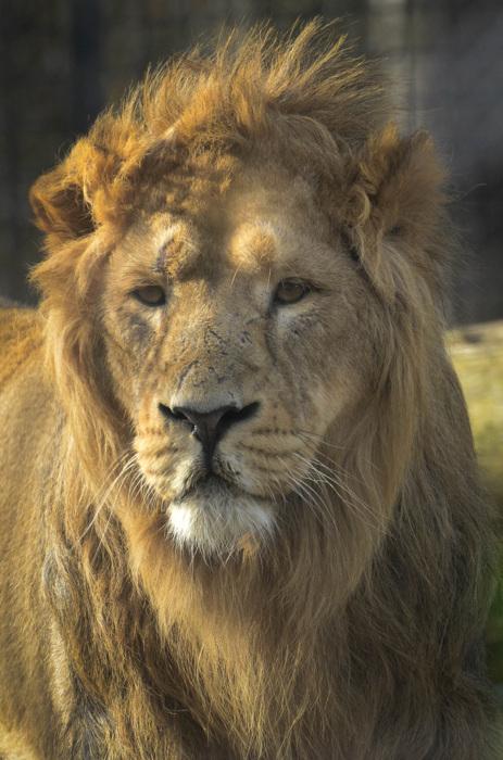 photoblog image Asiatiskt lejon - Asiatic lion (Panthera leo persica)