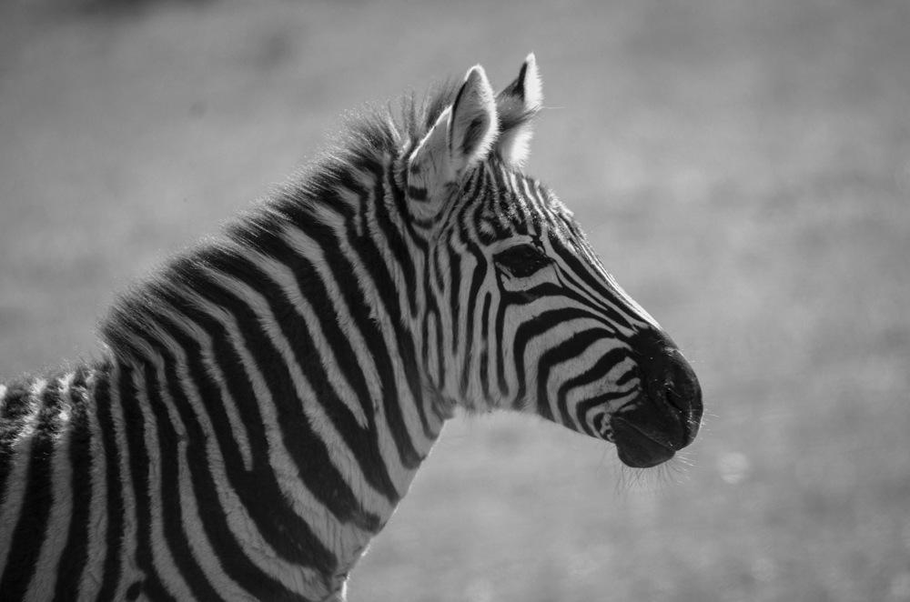 photoblog image Grants zebra - Grant's Zebra (Equus quagga boehmi)