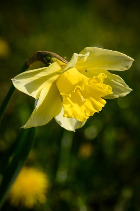 photoblog image Påsklilja - Daffodil (Narcissus)