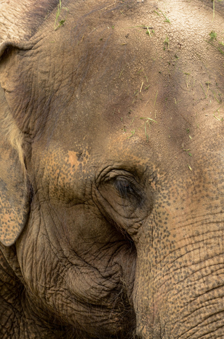 photoblog image Asiatisk elefant - Asian elephant (Elephas maximus)