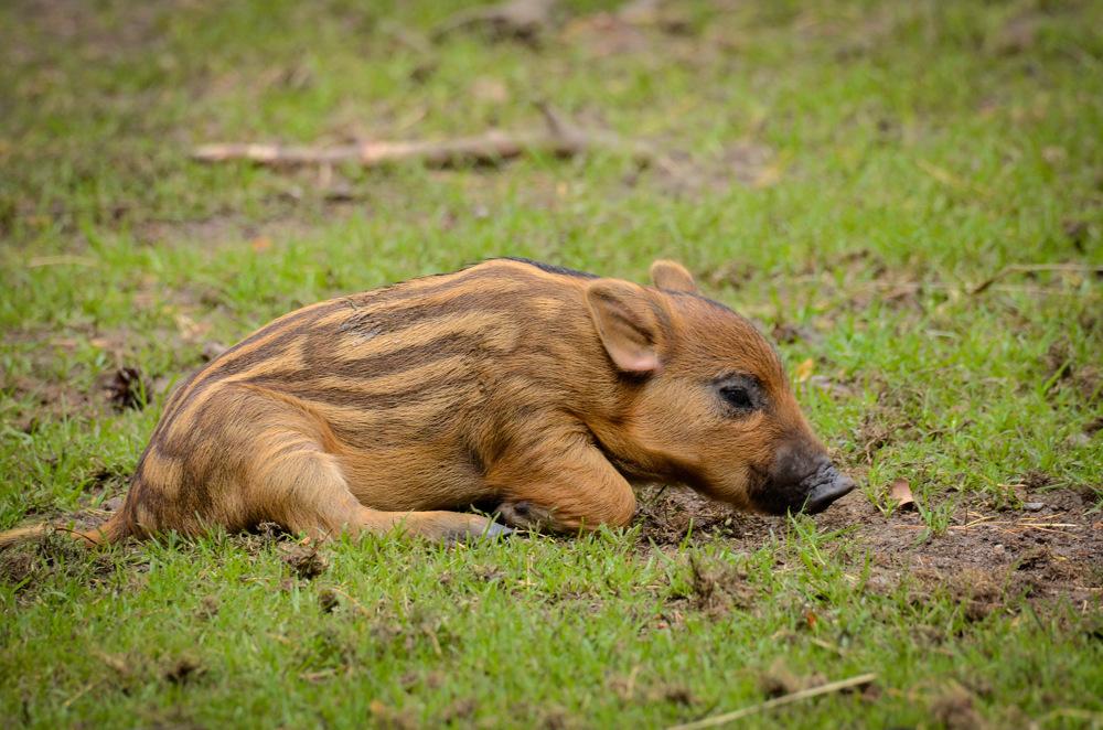 photoblog image Vildsvin - Wild boar (Sus scrofa)