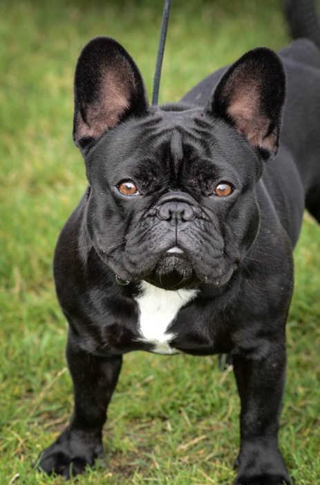 photoblog image Fransk Bulldogg - French Bulldog