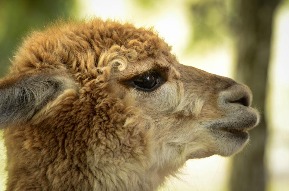 photoblog image Alpacka - Alpaca (Vicugna pacos)