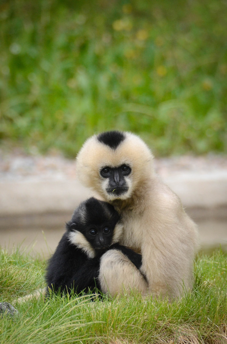 photoblog image Vitkindad gibbon - Northern White-cheeked Gibbon
