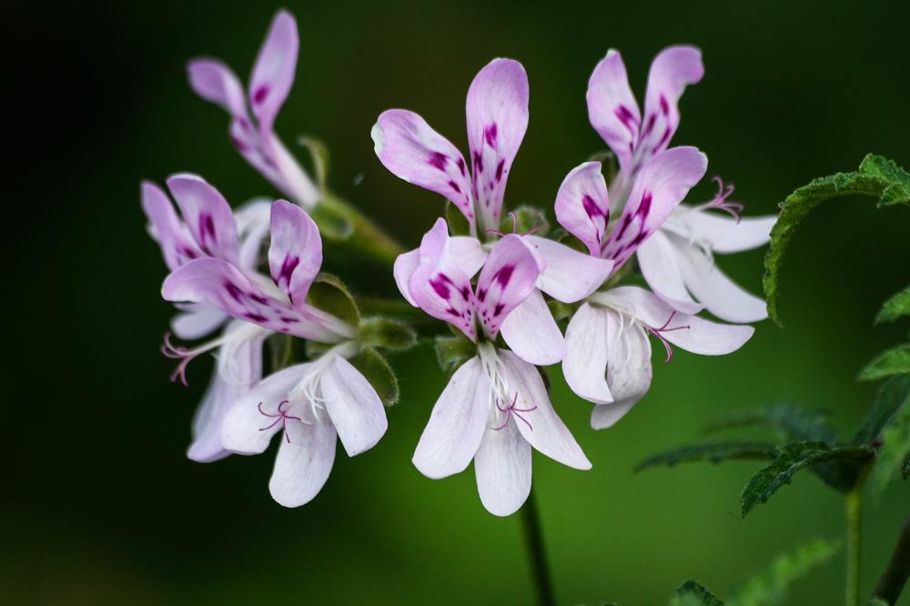 photoblog image Pelargonium citronellum