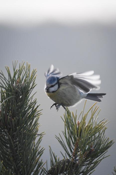 photoblog image Blåmes - Blue tit (Cyanistes caeruleus)