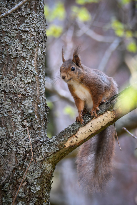 photoblog image Ekorre - Eurasian Red Squirrel (Sciurus vulgaris)