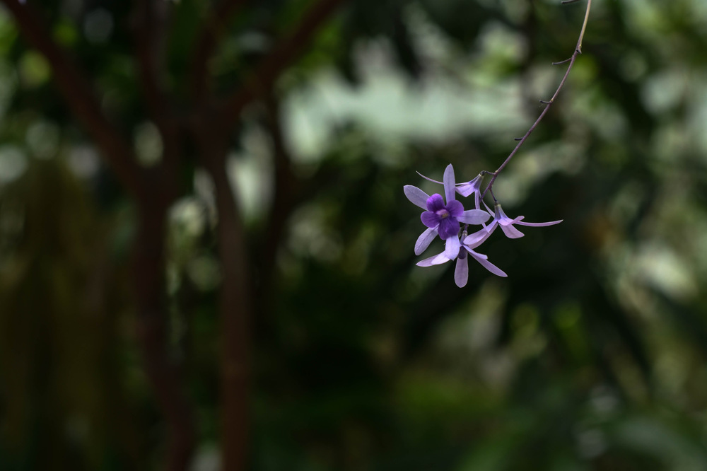 photoblog image Propellerbuske - Queen's Wreath (Petrea volubilis)