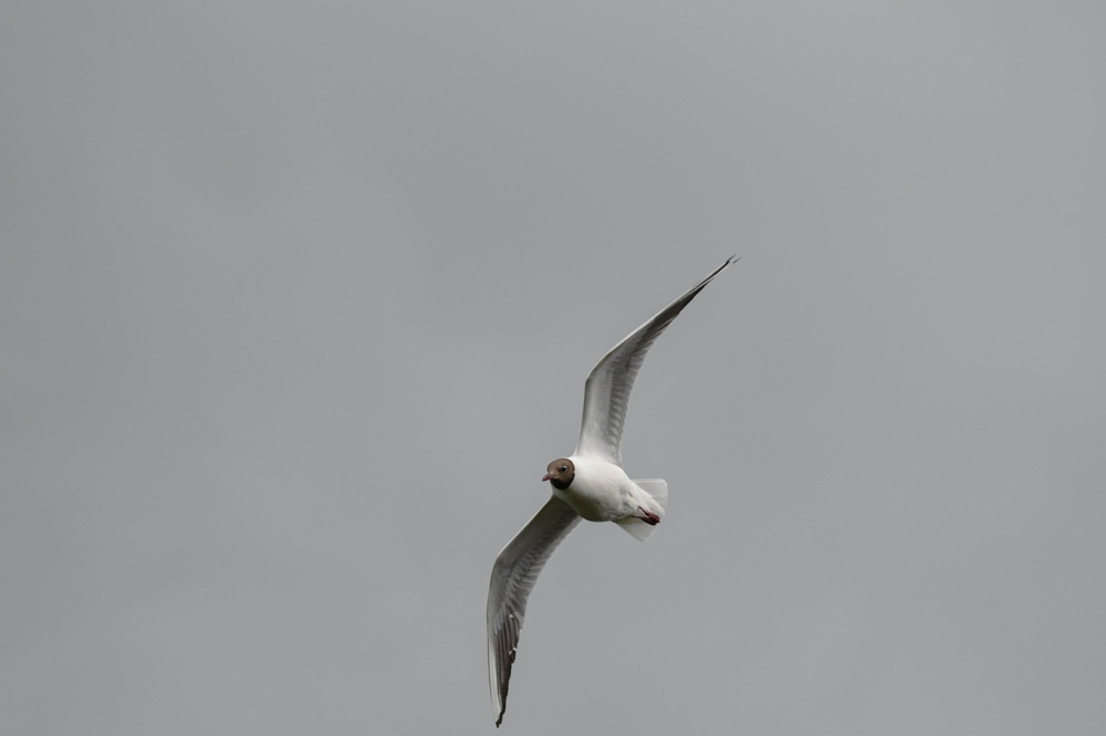 photoblog image Skrattmås - Black-headed gull
