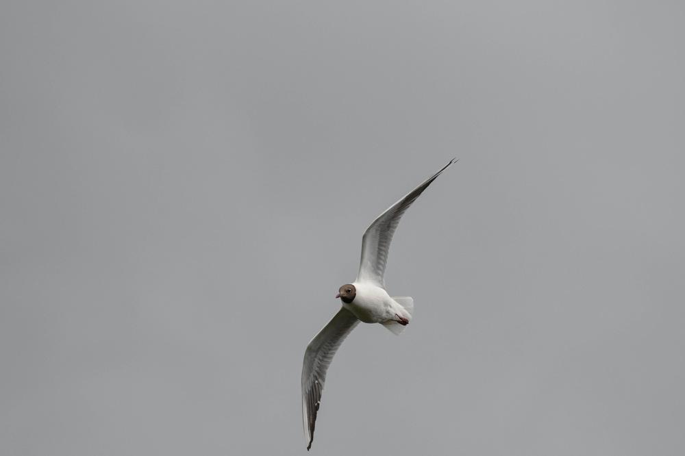 photoblog image Skrattmås - Black-headed gull