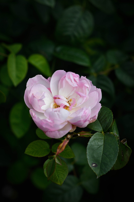 Ros - Rose 'Gentle Hermoine' (Rosa)