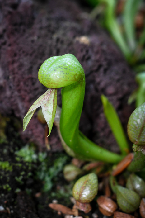 photoblog image Darlingtonia californica