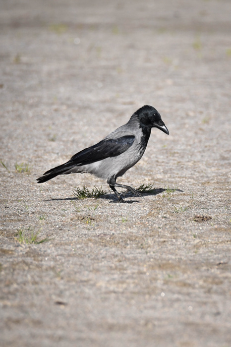 photoblog image Kråka - Hooded crow (Corvus cornix)