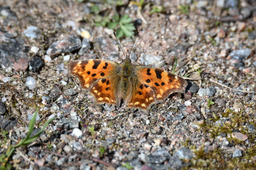photoblog image Vinbärsfuks - Comma (Polygonia c-album)