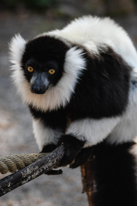 photoblog image Svartvit vari - Black-and-white ruffed lemur