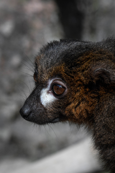Rödbukad lemur -Red-bellied lemur(Eulemur rubriventer)