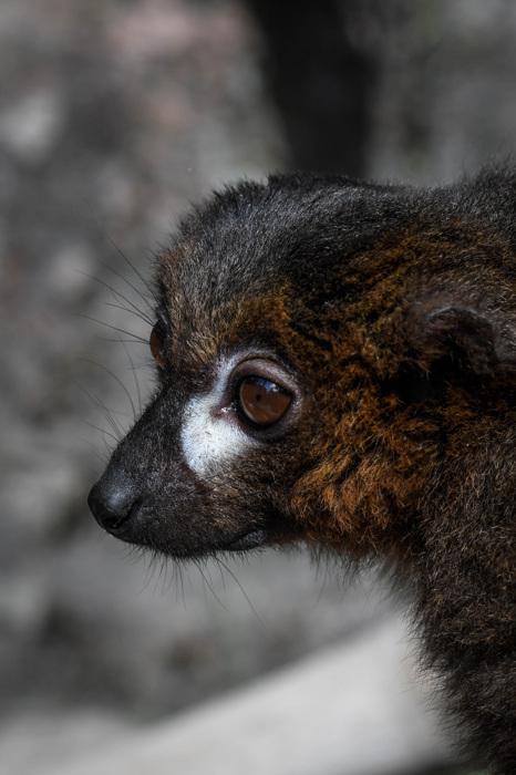 photoblog image Rödbukad lemur -Red-bellied lemur(Eulemur rubriventer)