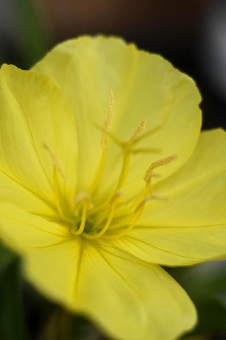 photoblog image Oenothera macrocarpa