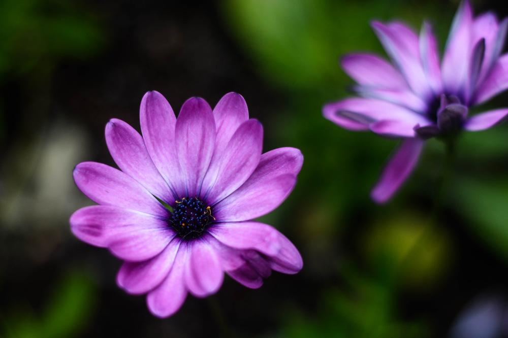 photoblog image Osteospermum ecklonis 'Akila lavender shades'