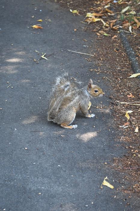 photoblog image Grå ekorre - Grey squirrel (Sciurus carolinensis)