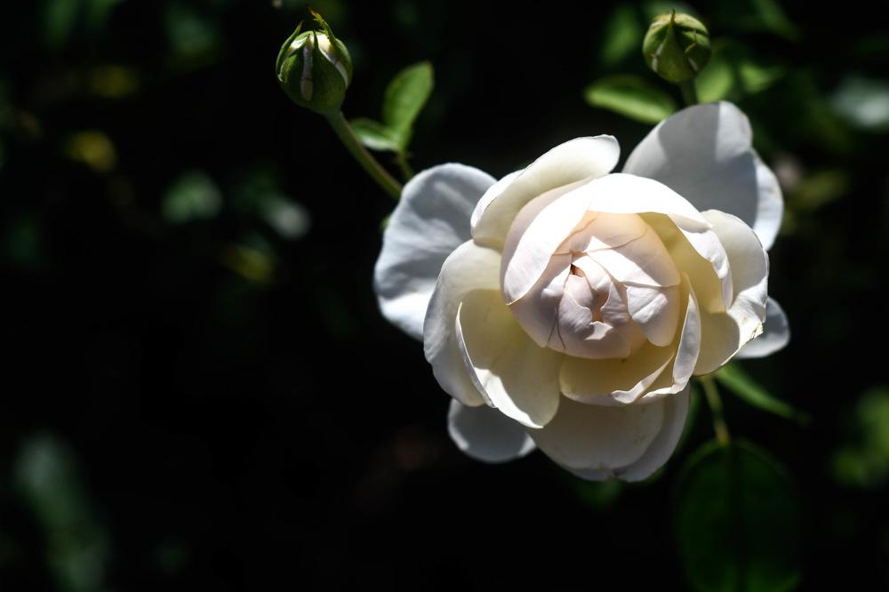 photoblog image Ros - Rose 'Lichfield Angel' (Rosa)