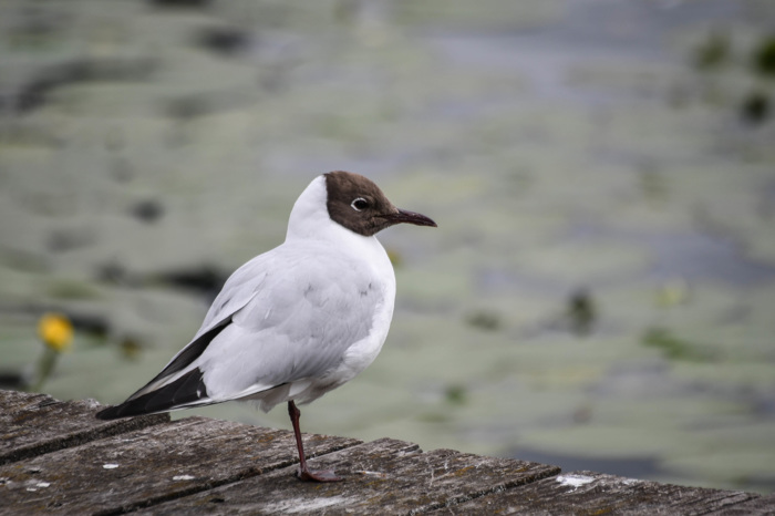 Skrattmås - Black-headed gull