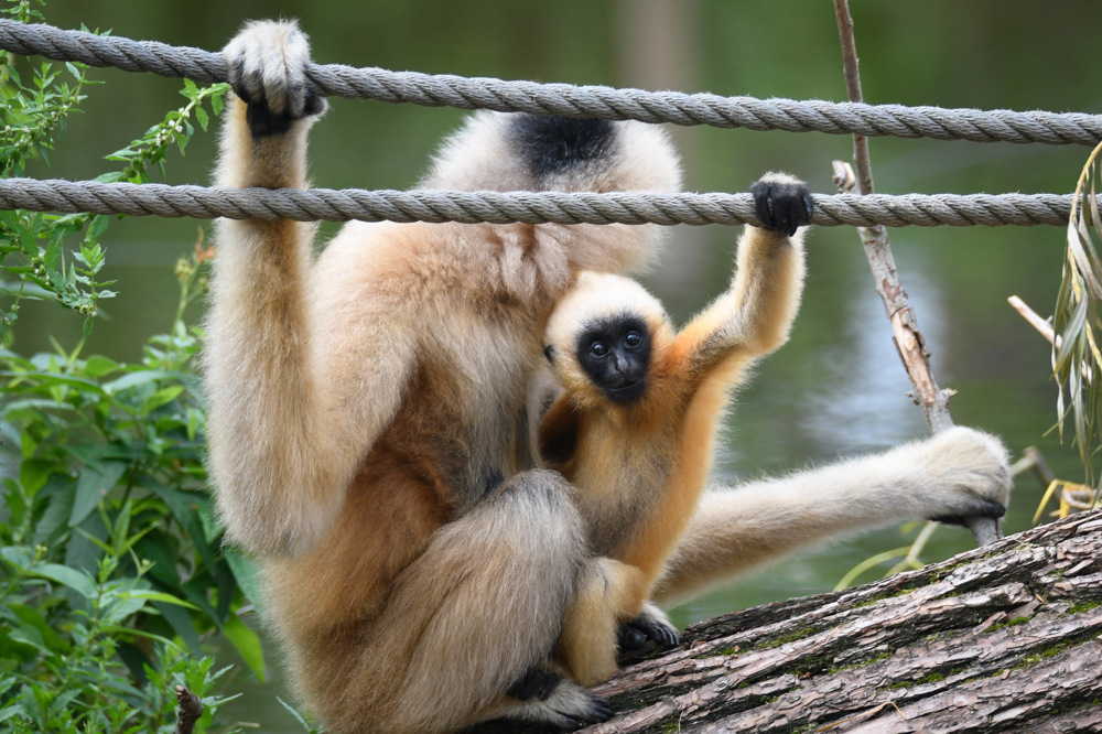 photoblog image Nordlig vitkindad gibbon-Northern white-cheeked gibbon