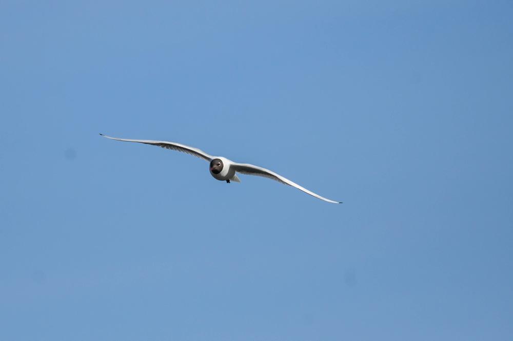 photoblog image Skrattmås-Black-headed gull(Chroicocephalus ridibundus