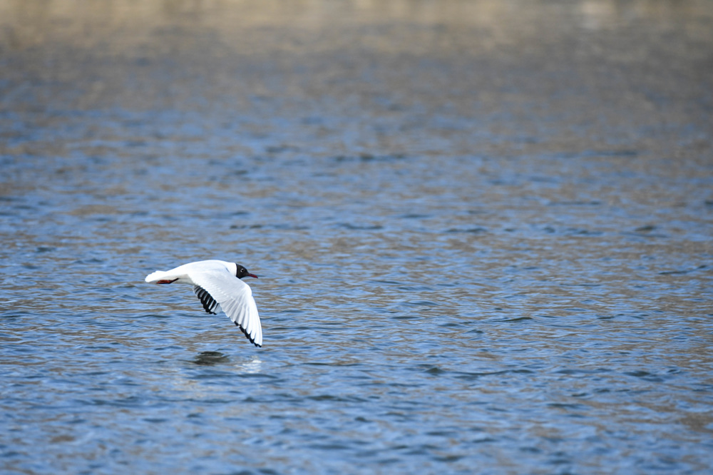 photoblog image Skrattmås-Black-headed gull(Chroicocephalus ridibundus