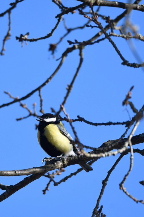 Talgoxe - Great tit (Parus major)